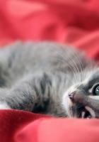kitten, silver, silk
