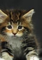 kitten, spotted, fluffy