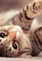 kitten, stretch, striped