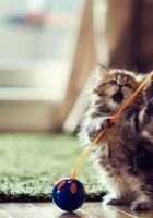 kitten, wooden flooring, toys