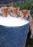 kittens, bucket, milk