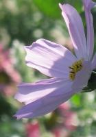 kosmeya, flower, garden