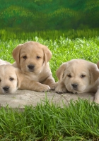 labrador, puppies, grass