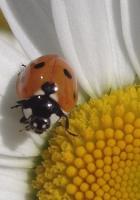ladybird, flower, patches