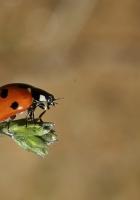 ladybird, grass, flying