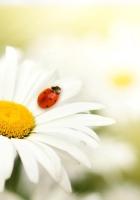 ladybug, daisy, flower