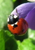 ladybug, grass, leaves