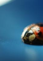 ladybug, insect, surface