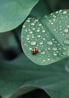 ladybug, leaf, drops