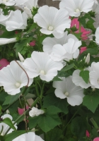 lavatera, flowers, flowerbed