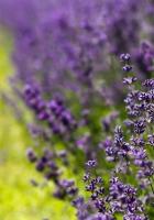 lavender, flowers, lilac