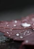 leaf, drop, dew