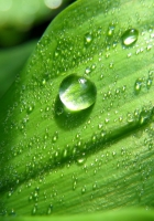 leaf, green, drops