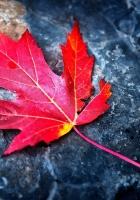 leaf, red, autumn