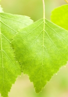 leaves, birch, light