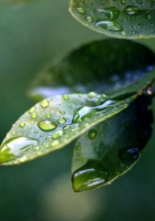 leaves, drops, plant