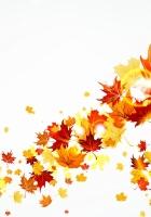 leaves, maple, autumn