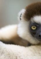 lemur, muzzle, white