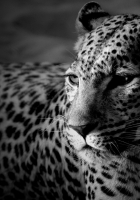 leopard, color, spotted