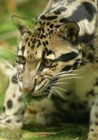 leopard, cub, hunting