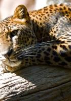 leopard, dream, tree