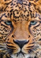 leopard, face, big cat