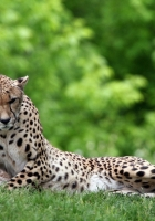 leopard, grass, couple