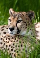 leopard, grass, lie