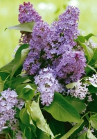 lilac, flower, leaves