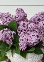 lilac, flower, spring