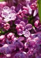 lilac, moisture, drops