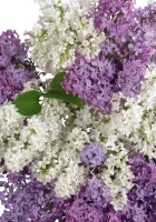 lilacs, bouquet, white