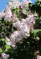 lilacs, flowering, shrub