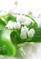 lilies, dew, flowers