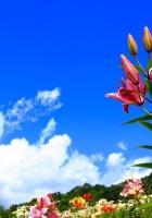 lilies, flowers, meadow