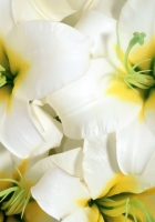 lilies, flowers, white