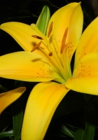 lilies, yellow, flowers