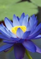 lily, blue, petals