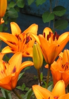 lily, flower, flowerbed