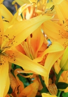 lily, flowers, bud