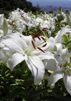lily, white, flowers