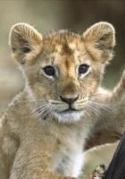 lion, cub, baby