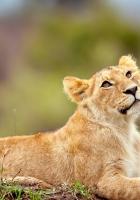 lion, cub, grass
