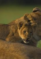 lion, face, calves