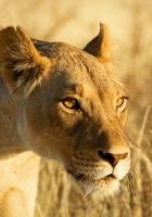 lion, face, lioness