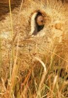 lion, lie, grass