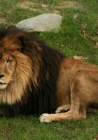 lion, lying, grass