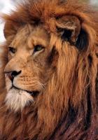 lion, mane, old