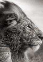 lion, mane, wind
