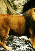 lion, nature reserve, walking